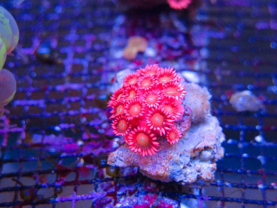 Saltwater red goniopora with purple center goniopora goniopora green flower pot coral mightylinksfo
